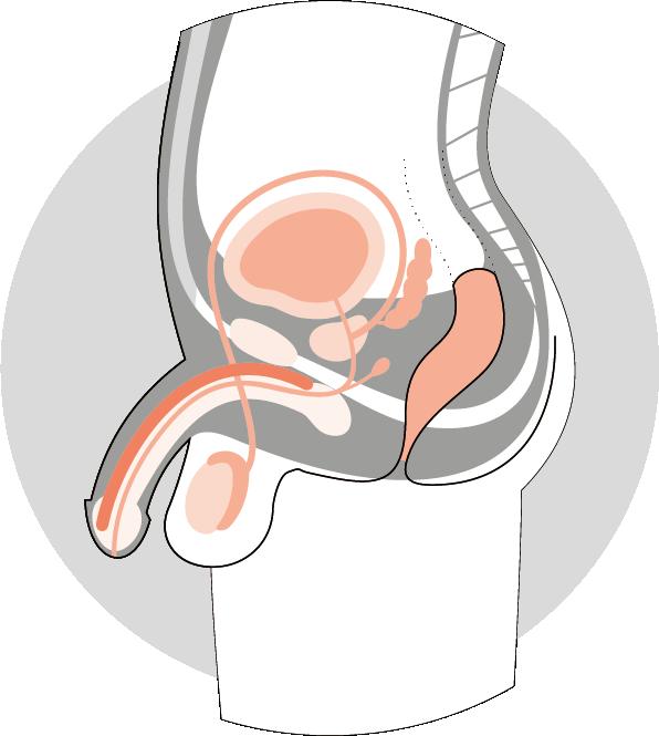 Anatomie Schnitt zu den männlichen Sexualorganen